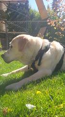 Max (missjessicab) Tags: dogs 1750 maxxie