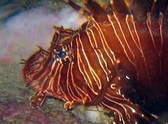 lion fish (Carpe Feline) Tags: carpefeline mauritius scubadiving ocean reefs morayeels anemonefish scorpionfish lionfish arrowcrab nudibranch needlefish underwater