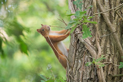 Red squirrel (Richard Holding) Tags: england eure nature normandie portmort squirrel wildlife cureuil
