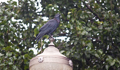 Morning Omen Watching (Orbmiser) Tags: 55200vr d90 fall nikon oregon portland streetlight crow perched