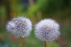 Ein Herbstspaziergang - Apostelgarten/Michelbach (ttundh) Tags: herbst blume lwenzahn pusteblume apostelgarten flower dandelion