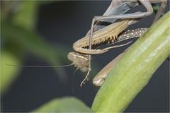 European Mantis, Mantis religiosa, Praying Mantis, Cleaning Leg (marlin harms) Tags: mantisreligiosa europeanmantis prayingmantis mantid mantis