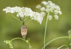 Harvest Mouse (Alastair Marsh Photography) Tags: harvestmouse harvest harvestmice mouse mice mammal mammals smallmammal smallmammals animal animals animalsintheirlandscape cow parsley cowparsley wildlife britishwildlife britishanimals britishanimal britishmammals britishmammal