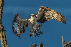 Osprey take-off (bodro) Tags: bolsachica osprey bird birdinflight ecologicalreserve raptor takeoff wetlands