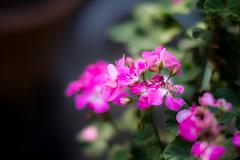 ILCE-3000-20161021-04434 (Otattemita) Tags: 57mmf12 florafauna hexanon konica konicaarmountlens konicahexanonar57mmf12 flower nature plant wildlife exif:isospeed=100 exif:model=ilce3000 exif:lens=konicahexanonar57mm112 exif:focallength=855mm exif:make=sony camera:model=ilce3000 camera:make=sony konicahexanonar57mm112 sonyilce3000 ilce3000 sony