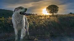 Atardecer en el campo ... (Vctor.M.Chacn) Tags: dmcfz1000 fz1000 victormchacn perro campo atardecer
