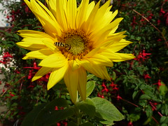 Sunflower ! (Mara 1) Tags: summer garden flower tall yellow petals outdoors bee red fuchsias plants light shade