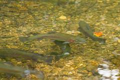 Rainbow trout (Lindell Dillon) Tags: rainbowtrout fish stream nature dogwoodcanyon missouri branson lindell dillon lindelldillon