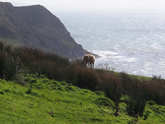 headland (mark.griffin52) Tags: olympusem5 england dorset goldencap countryside coastline cliff cow englishchannel sea landscape