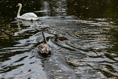 Spot the mallard! (PChamaeleoMH) Tags: anatidae birds cygnets ducks fauna mallards oxford swans universityparks