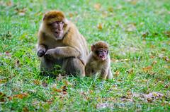 Woburn Safari Park Barbary Macaques (Rancidpunk04) Tags: animals nikon nikond7000 tamron150600 woburnabbey monkey barbarymacaque safaripark