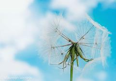 Make A Wish (Maureen Medina ArtiZenImages Photography) Tags: wish dandelion sky clouds maureenmedina aretizenimages