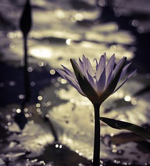 ...the gentle and the lonely... (dawn.tranter) Tags: backlight sunlight waterlilies bokeh flora 7dwf