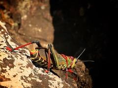 really big bug (peet-astn) Tags: macmacfalls really big bug southafrica grasshopper colour colourful gaudygrasshopper