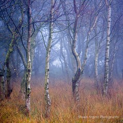 Brimham Birch (shaun.argent) Tags: woodland woods trees tree texture nature shaunargent seasons autumn grasses flora