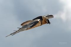 Gypate barbu (Hubert Chiapusso) Tags: oiseau hautemaurienne aussois animalsauvage vanoise rapace gypatebarbu