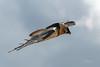 Gypaète barbu (Hubert Chiapusso) Tags: oiseau hautemaurienne aussois animalsauvage vanoise rapace gypaètebarbu