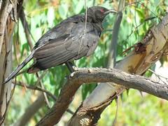 Corcorax melanorhamphos 9 (barryaceae) Tags: barraba nsw australia bird birds aves australianbirds ausbirds ausbird whitewinged chough corcorax melanorhamphos tarpolytravellingstockreserve