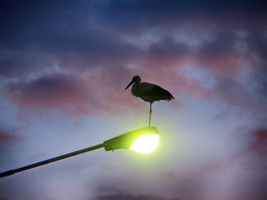 IMG_2183 in silent solitude (pinktigger) Tags: stork cigüeña storch cicogne ooievaar ciconiaciconia cicogna cegonha bird nature fagagna feagne friuli italy italia oasideiquadris animal outdoor sunset lampion