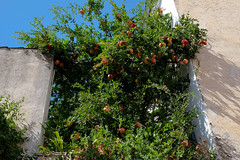 Rima Dadenji, beloved pomegranate tree, Granada, 2016 (Rima Dadenji) Tags: pomegranate pomegranatetree granada andalusia andalucia rimadadenji greenblue red ecology nature earth tree fruit fruits agroforestry permaculture soil gardening harvesting agroecology environment farming planting