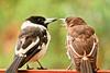 Pied butcherbird (19 of 22) (Daniela Parra F.) Tags: aves birds butcherbird piedbutcherbird australia queensland southeastqueensland birdsofaustralia australianwildlife aussiebirds australianbirds wild wildlife springbrook subtropical rainforest mountainrainforest springbrooknationalpark