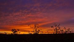 Sunflower Silhouette Sunrise (thefisch1) Tags: sunrise sunflower shilhouette tree sky cloud color colorful horizon kansas limb branch