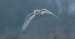 Barn Owl (1 of 3) (KHR Images) Tags: barnowl barn owl tytoalba wild bird birdofprey inflight flying fendraytonlakes rspb cambridgeshire fens fenland eastanglia mist wildlife nature nikon d7100 kevinrobson khrimages