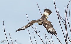 Environmental Image (Rough-Legged Hawk) (The Owl Man) Tags:
