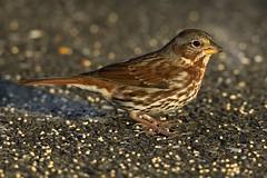 Bruant fauve 17T4786 (Ren Pelletier) Tags: bruant fauve fox sparrow passerella iliaca