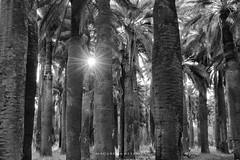 Luz Palmas de Cocalan_MAV4504 (http://cargocollective.com/MacarenaAltayo) Tags: parque palmas de cocalan palmasdecocalan palmachilena blanco y negro
