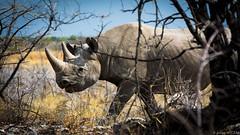 Black Rhino (Julien Nyczak) Tags: rhino blackrhino etoshanationalpark etosha africa namibia safari gamedrive selfdrive drive wildlife wild rhinoceros