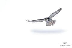 Jour blanc !! (Philou73couz) Tags: chouetteépervière northernhawkowl snow chouette hiver monregardsurlanature nature neige owl philippedebruyne wildlife winter