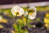 Undressing (mclcbooks) Tags: flower flowers floral macro closeup backlit backlighting poppy poppies denverbotanicgardens colorado fall autumn