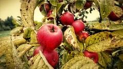 apples for free (oxyrhynchos - OLOliuqui) Tags: apple apfel mela manzana pomme ябълка تفاحة omena 苹果 æble μήλο עפּל яблоко jablko