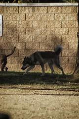 DSC_0024 (Harlum) Tags: boxer germanshepherd lab dogpark wolfhybrid husky malamute nikon nikond100 nikond5100 dogs