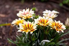IMG_8808 (l3enjamin) Tags: fleur fleurs floral florale flower flowers natural nature