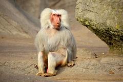 Hamburg,Tierpark Hagenbeck (Germany) (jens_helmecke) Tags: hamburg stadt hansestadt city zoo tierpark hagenbeck affe tier nikon jens helmecke deutschland germany