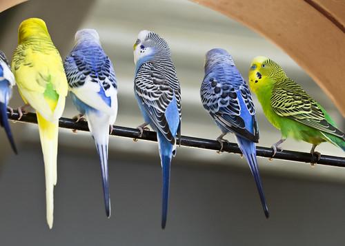 parakeets on a bar 2