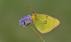 Clouded Yellow (Colias croceus). (Bob Eade) Tags: butterflies cevennes cloudedyellow coliascroceus france butterfly yellow lepidoptera spring wildlife nature