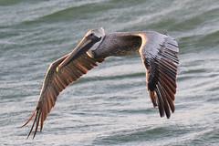 Brown Pelican Inflight with 4' Waves (dbadair) Tags: shore bird flight pelican gulf mexico
