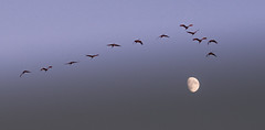cranes over the moon 2 (otgpics) Tags: sandhill cranes sunset waxing moon crex meadows fish lake wildlife areas northwestern wisconsin