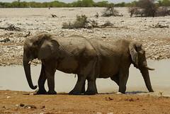 elephants in Okakuejo (Dorota Zapisek) Tags: bigfive africa namibia etosha okakuejo
