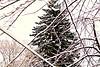Neighbor's Pine Tree (~nevikk~) Tags: pinetree snowybranches powerlines cluttered backyardview