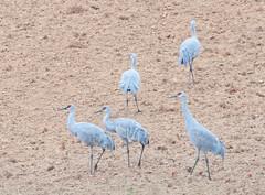 Sandhill Cranes (rpennington9) Tags: bird birds cranes sandhillcranes hiwasseewildliferefugearea tennessee birchwood nikon nikond90 sigma sigma150600mmlens