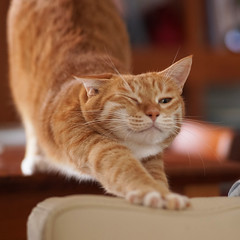 DSC00186S (lazybonessss) Tags: elmaritm90 leica cat sonya7 sonyilce7 momo kitten2 catstretch