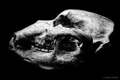 As Time Goes By... (jayem.visuals) Tags: archeologicalexcavation blackwhite blackandwhite bone museum skull jayemvisuals juergenmaeurer