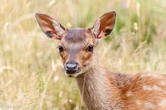 M'aurait il vu ? (Mike Y. Gyver) Tags: nikon afsvrzoomnikkor70300mmf4556gifed d90 dof deer wildlife cute 2015 tmb daim merlet france alpes outdoor