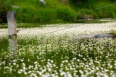 Lilly Pond delicate daisy blooms, frog delight (Psychic Insights) Tags: outdoor nature flowers lilley ponds frogs green lakes mountains newzealand canon