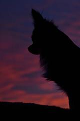Pink sky (Mientsje) Tags: mayhem sunset dog netherlands sun set chihuahua pet animal cute dogs nature