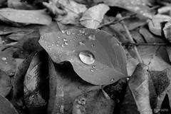 Raindrop - Regentropfen (Sockenhummel) Tags: blatt chorin wald tropfen regentropfen raindrop wassertropfen leave waldboden forest regen regenwetter wasser herbst autumn fall mono uni schwarzweis blackwhite bw sw einfarbig fuji x30 fujifilm finepix fujix30 monochrom